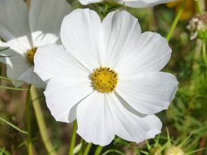 rosenskära-flower-1678770__340